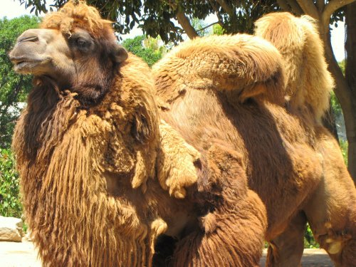 Camel at the San Diego Zoo